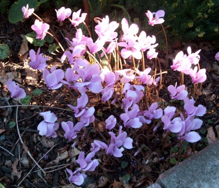 Helen's Chesnut about Cyclamens