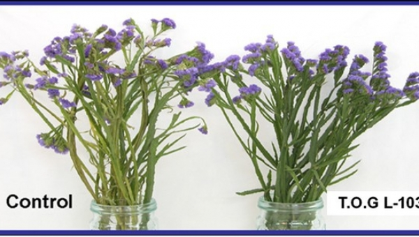 Improving the feasibility of limonium for exports to distant destination markets