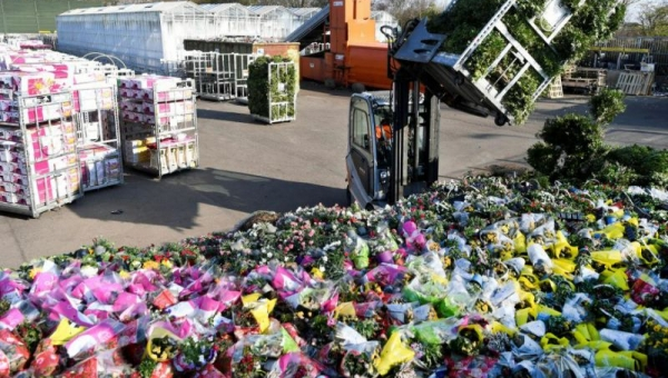 Dutch scheme to boost wilting flower industry takes root