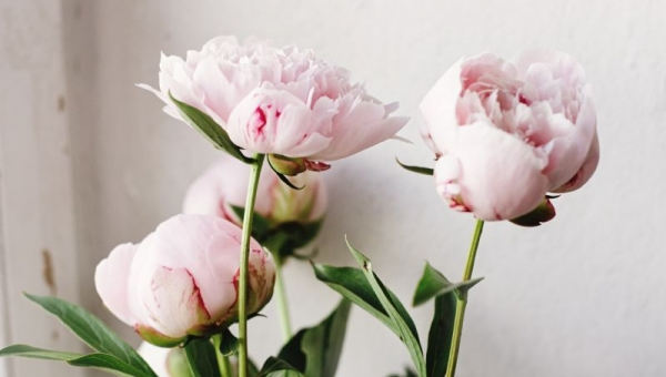 How to grow and care for peonies - and why we're all so obsessed with the fluffy, fragrant flowers